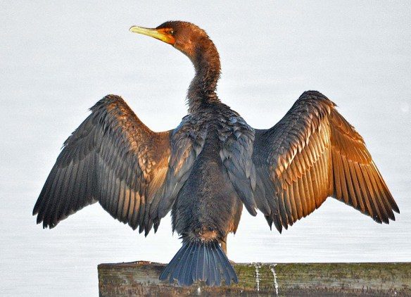 Double Crested Cormorant 2018-14