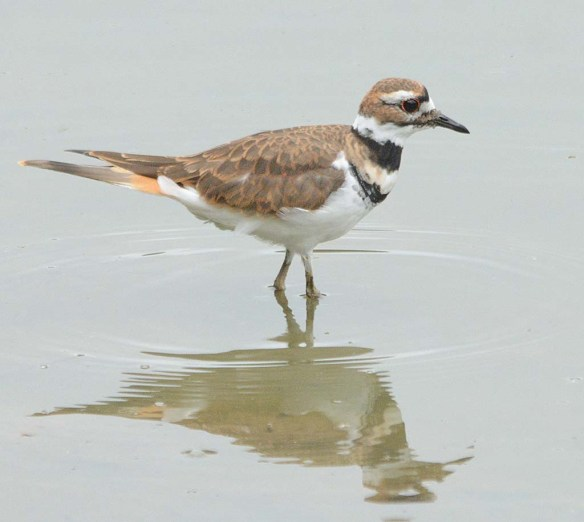 Killdeer 2018-5