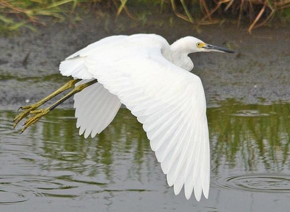 Snowy Egret 2018-29