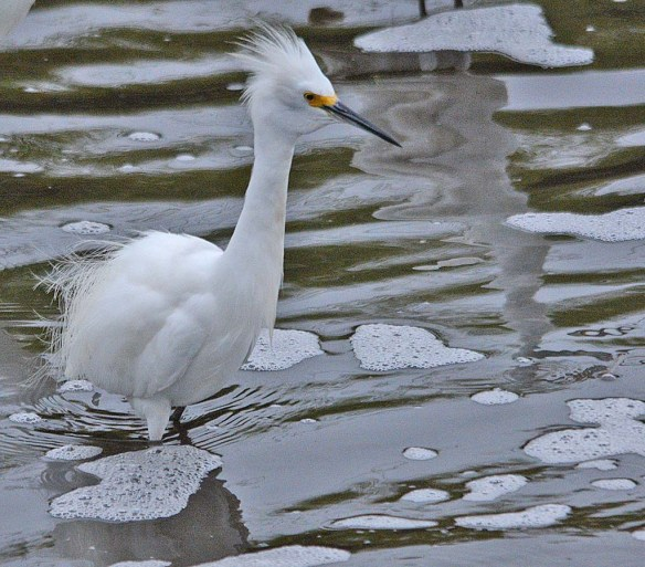 Snowy Egret 2018-32