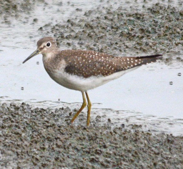 Spotted Sandpiper 2018-10
