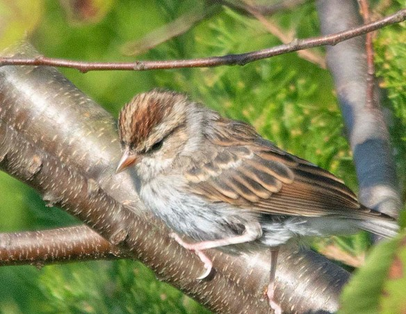 Chipping Sparrow 2018-7