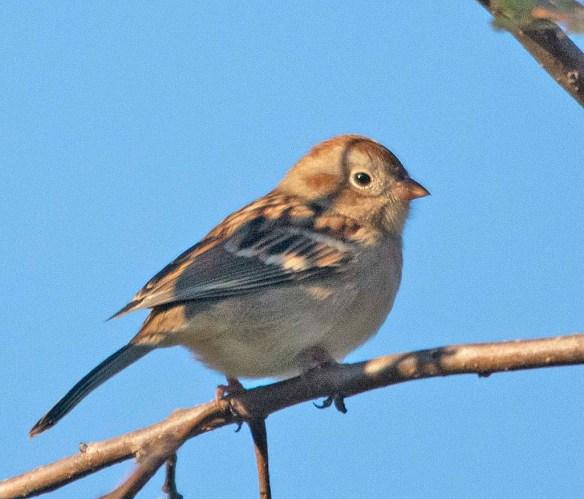 Field Sparrow 2018-1