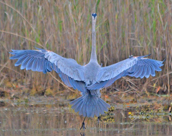 Great Blue Heron 2018-82