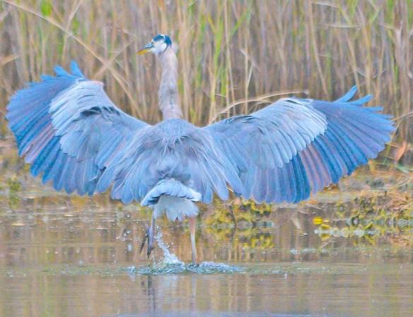 Great Blue Heron 2018-83