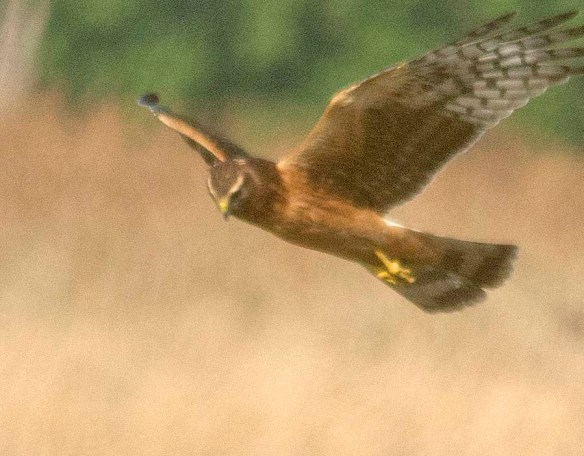 Northern Harrier 2018-7