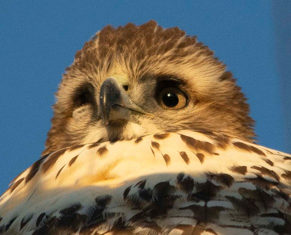 Red Tailed Hawk 2018-5