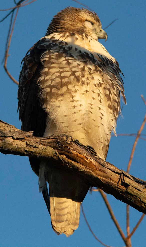 Red Tailed Hawk 2018-6