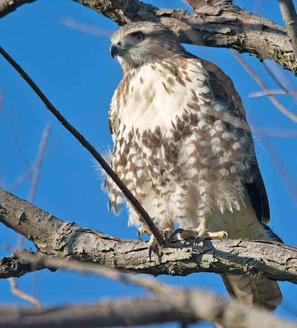 Red Tailed Hawk 2018-7