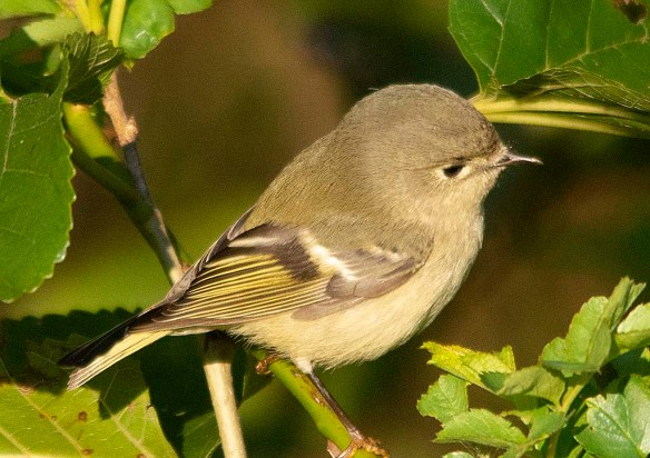 Ruby Crowned Kinglet 2018-2