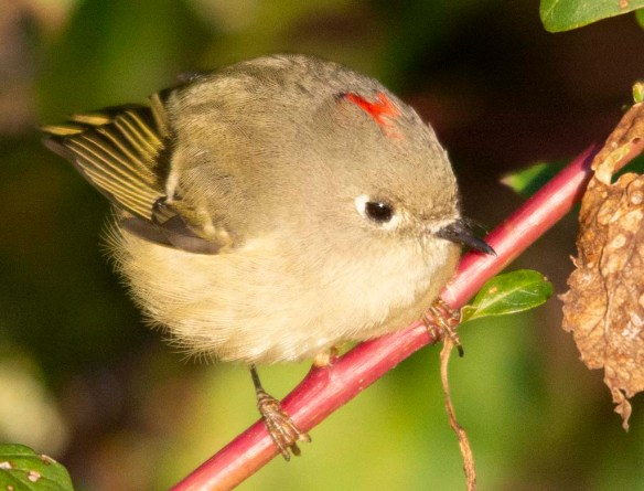Ruby Crowned Kinglet 2018-3