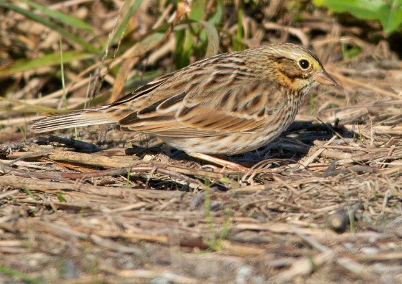 Savannah Sparrow 2018-3