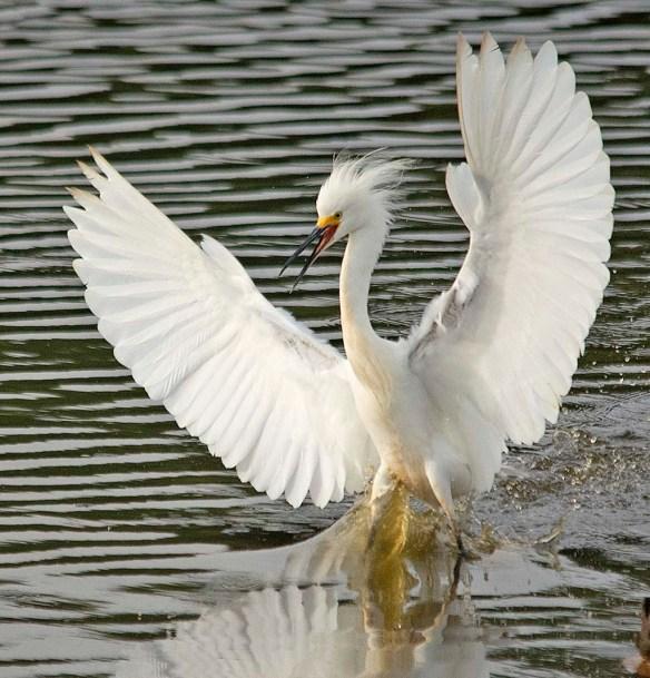 Snowy Egret 2018-35
