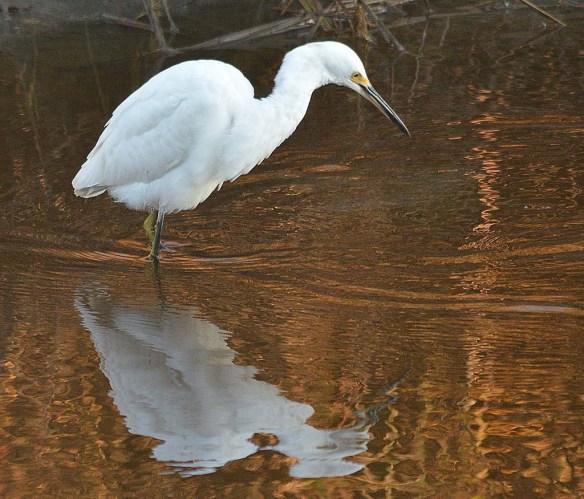 Snowy Egret 2018-43