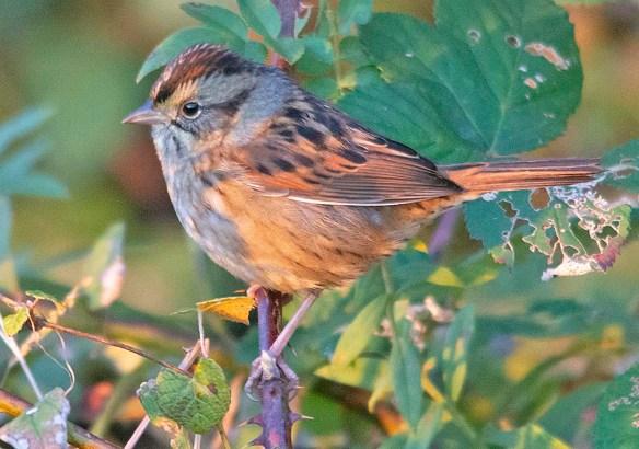 Swamp Sparrow 2018-2