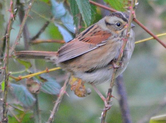 Swamp Sparrow 2018-3
