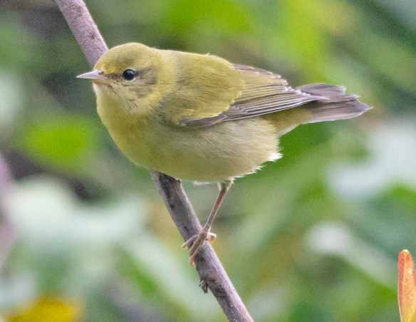 Tennessee Warbler 2018-1