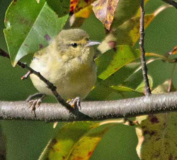 Tennessee Warbler 2018-3