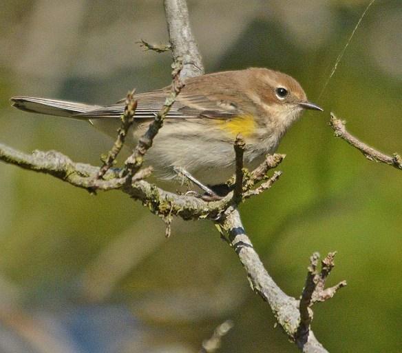 Yellow Rumped Warbler 2018-6