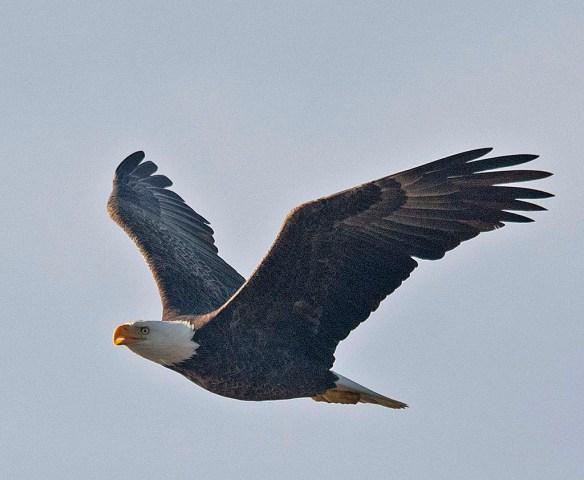 Bald Eagle 2018-78