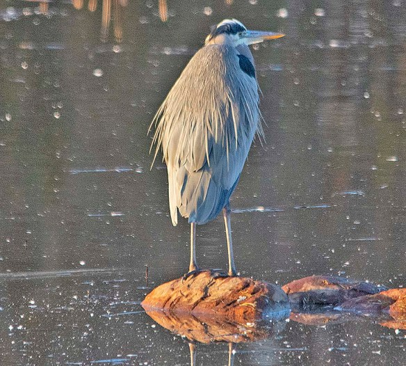 Great Blue Heron 2018-91