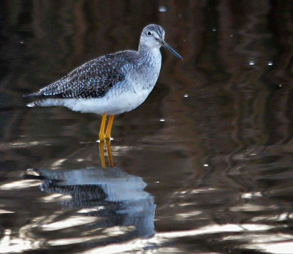 Greater Yellowlegs 2018-22