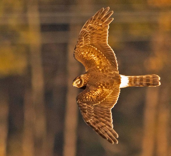 Northern Harrier 2018-10
