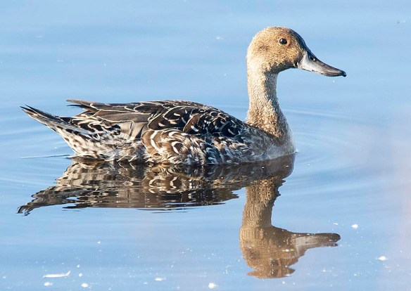 Northern Pintail 2018-21