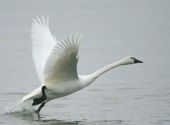 Tundra Swan 2018-33