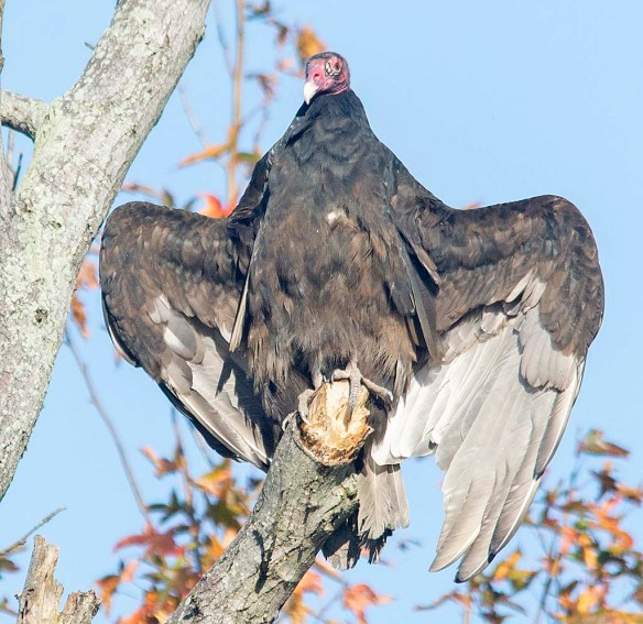 Turkey Vulture 2018-3