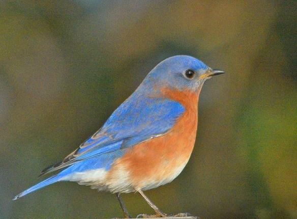 Eastern Bluebird 2018-14