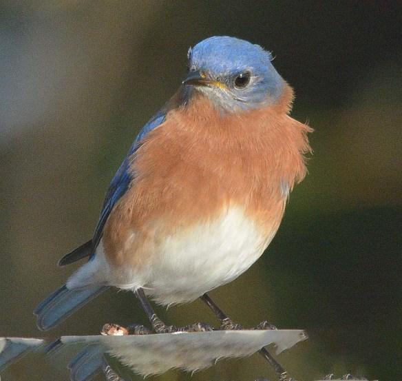 Eastern Bluebird 2018-15