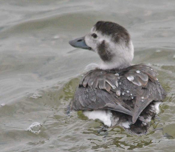 Long Tailed Duck 2018-12