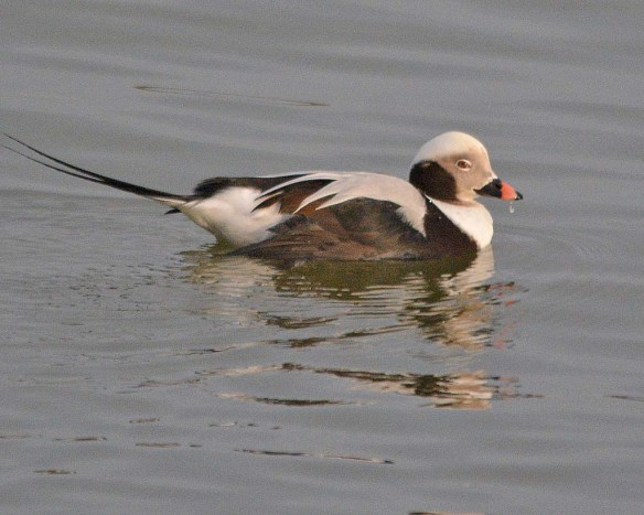 Long Tailed Duck 2018-13