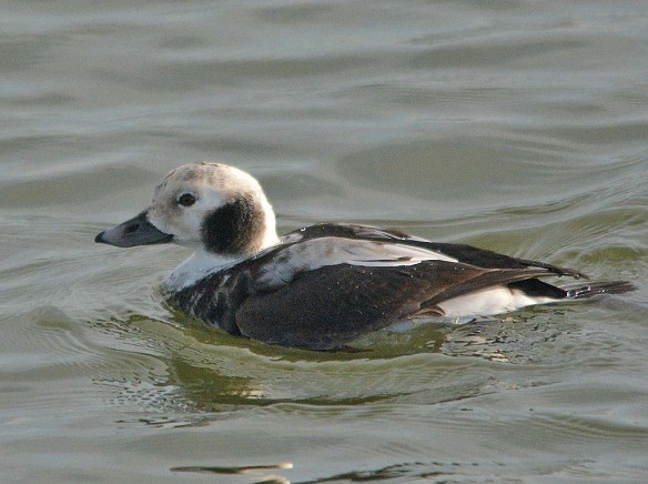 Long Tailed Duck 2018-9