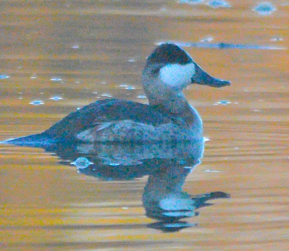 Ruddy Duck 2018-16