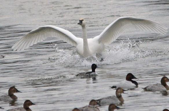 Tundra Swan 2018-38
