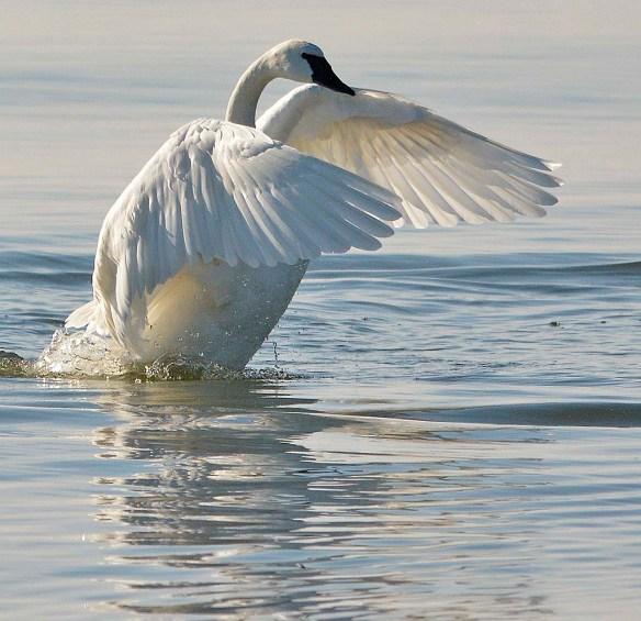 Tundra Swan 2018-56