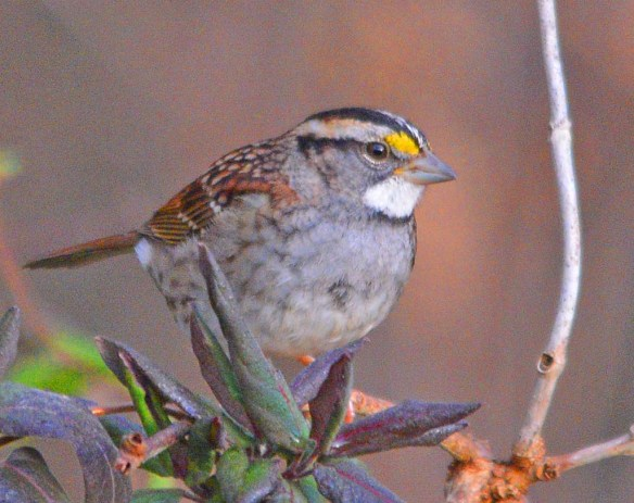 White Throated Sparrow 2018-9