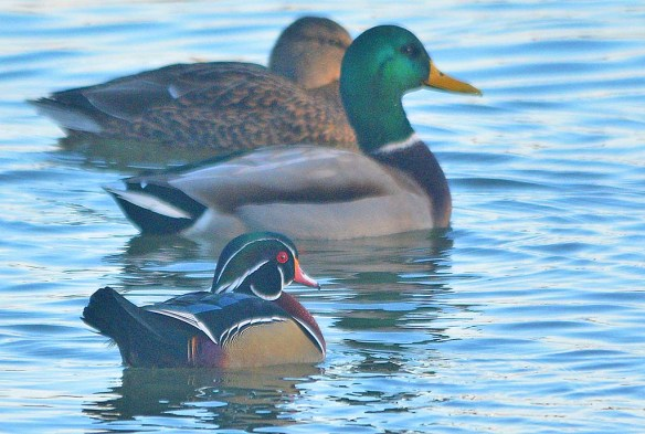 Wood Duck 2018-65