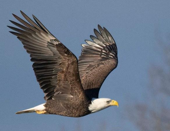 Bald Eagle 2019-2