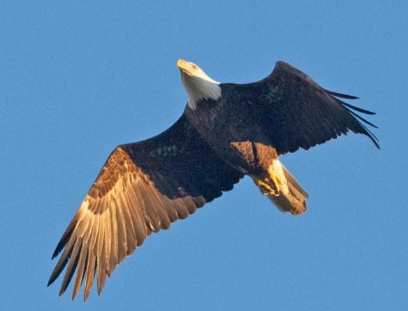 Bald Eagle 2019-6