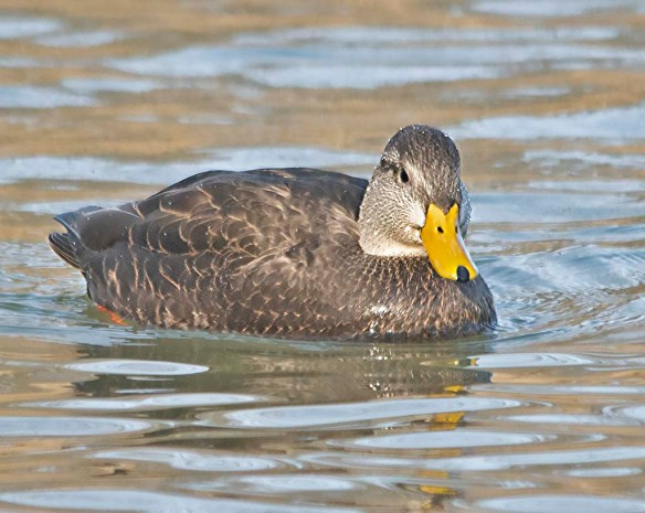 Black Duck 2019-9