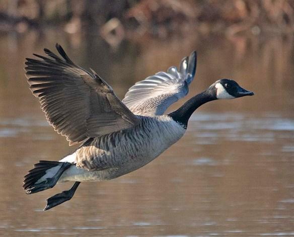 Canada Goose 2019-2