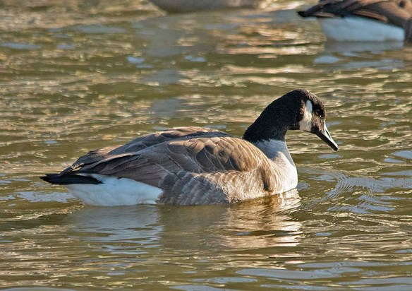 Canada Goose 2019-3