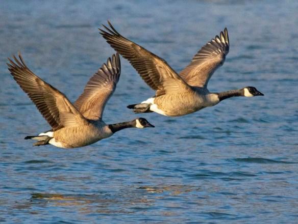 Canada Goose 2019-6