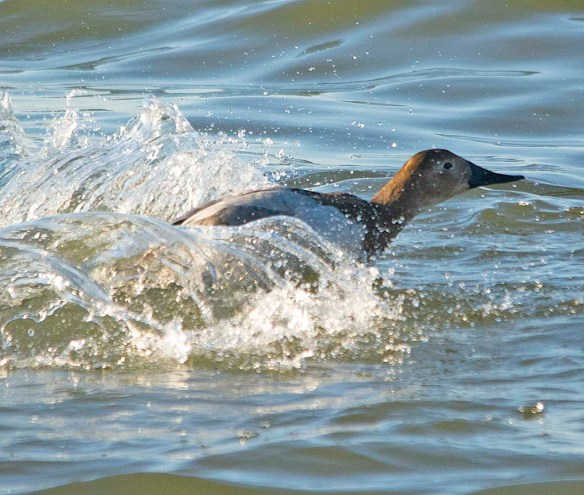 Canvasback 2019-10