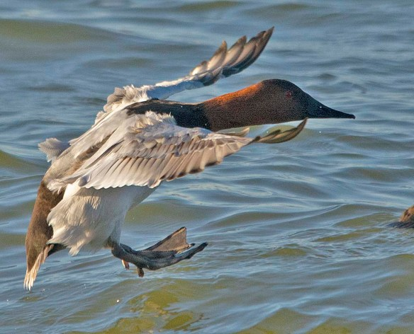 Canvasback 2019-12