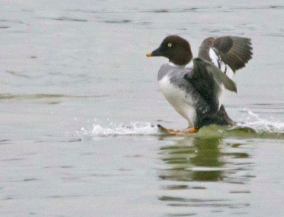 Common Goldeneye 2019-11
