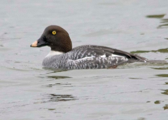 Common Goldeneye 2019-12